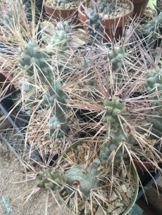 img_1924_cactus_rare-cacti_cacti-collection_desert-creations-nursery